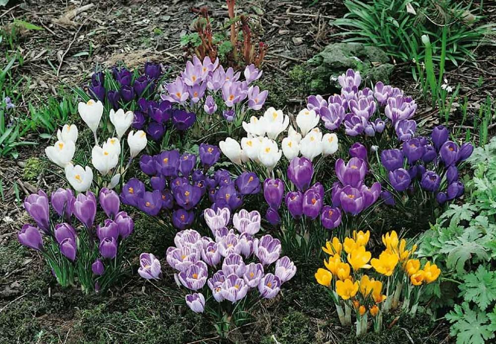 Crocus conseils de plantation et entretien - Bulbes a planter au printemps ...