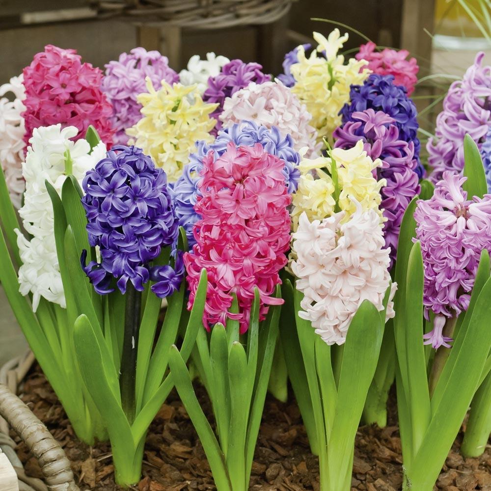 Doit On Deterrer Les Oignons De Tulipes jacinthe : conseils de plantation et entretien