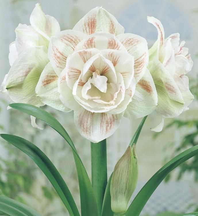 Amaryllis charisma bulbes d 39 int rieur meilland richardier for Arrosage des amaryllis