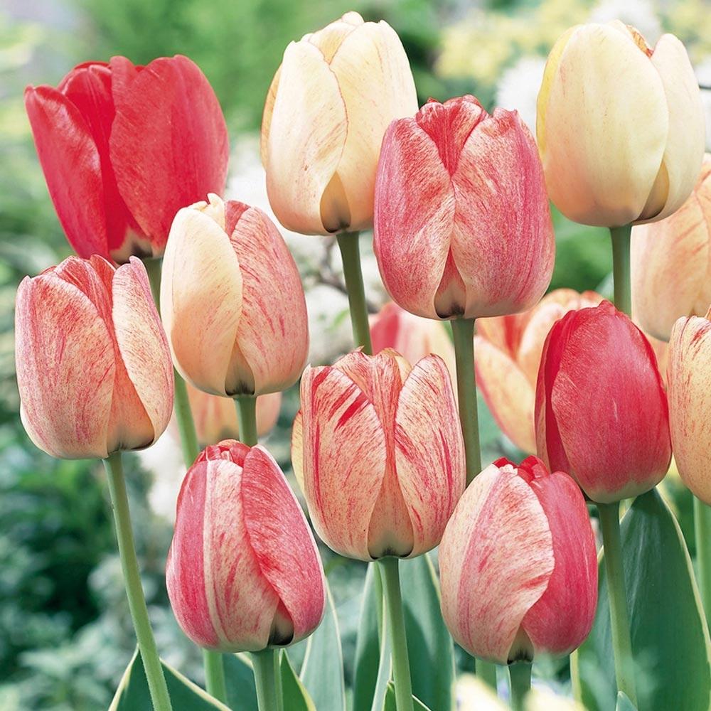 Doit On Deterrer Les Oignons De Tulipes tulipe : conseils de plantation et entretien