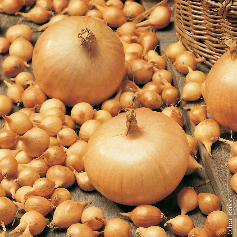 Oignon Blanc A Planter ail, oignon, echalote : infos en conseils