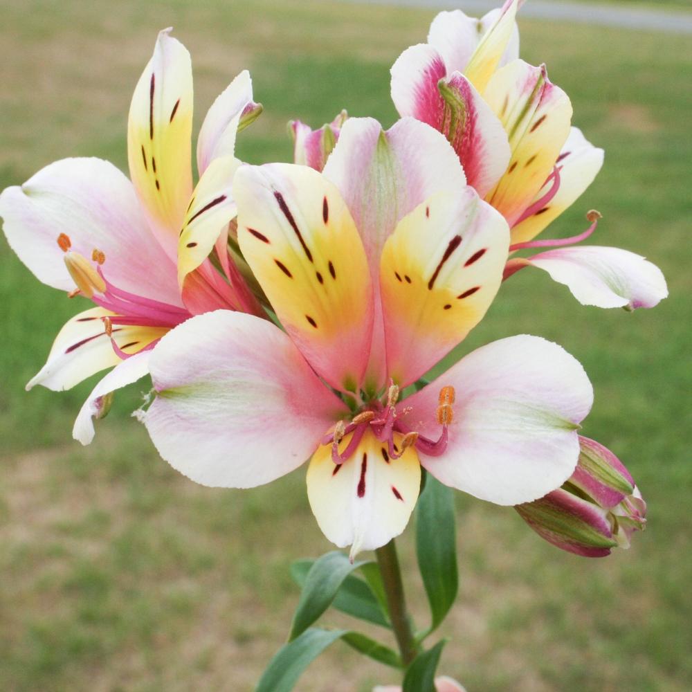 Faut Il Couper Les Lys Après Floraison alstroemère (lys des incas) : conseils de plantation et