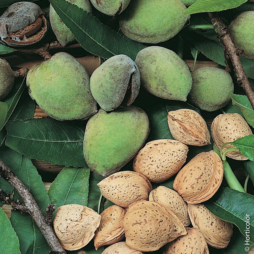 Arbre Fruitier D Intérieur amandier : conseils de plantation, taille et entretien