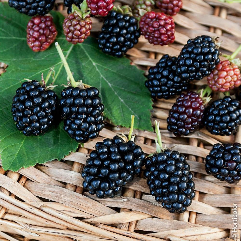Quel Fruit Planter Au Printemps murier : conseils de plantation et entretien