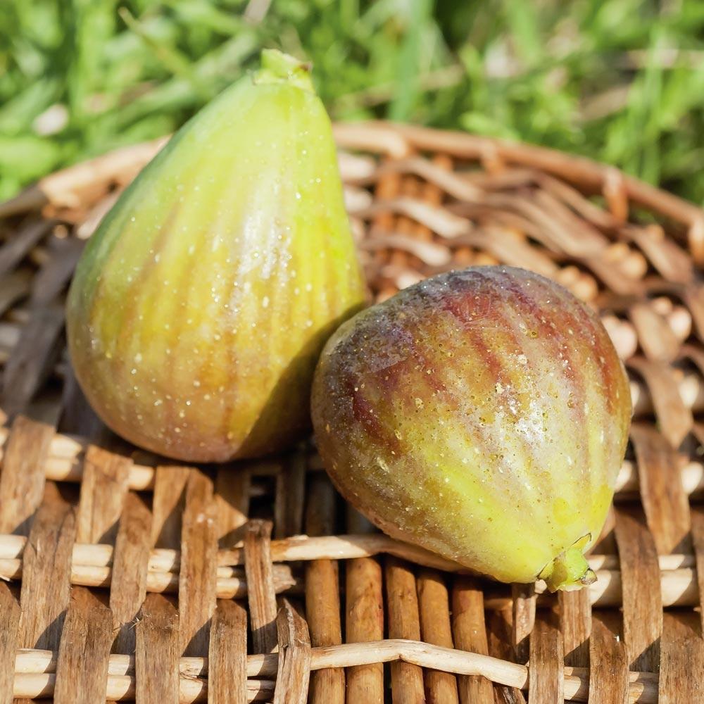 Quoi Mettre Au Potager En Septembre figuier : conseils de plantation, taille et entretien