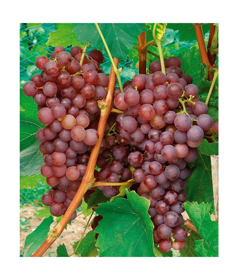 Planter un pied de vigne dans son jardin vigne vigne - Planter un pied de vigne ...