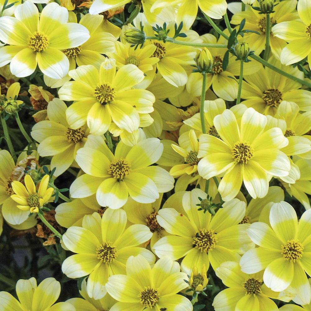 Fleurs Pour Mi Ombre plante annuelle : conseils de plantation et entretien