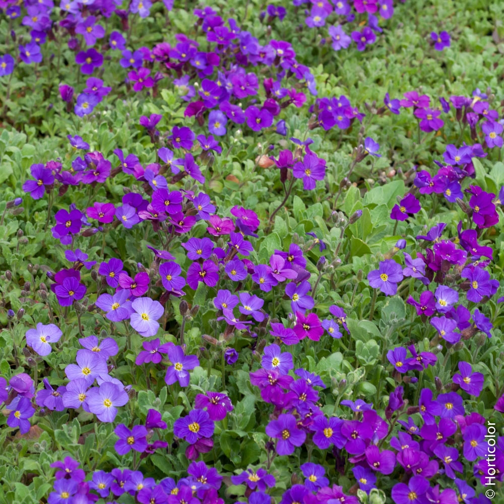 Planter Dans Un Talus aubriète : conseils de plantation et entretien