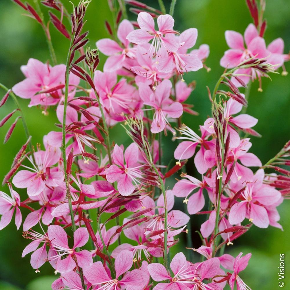 Fleur vivace : conseils de plantation