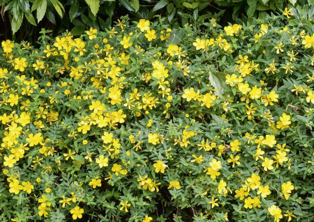 Envie de soleil dans votre jardin pensez aux plantes jaunes for Jardin aux plantes