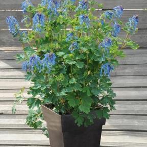 Rose de no l hellebore conseils de plantation et entretien for Entretien plantes vivaces