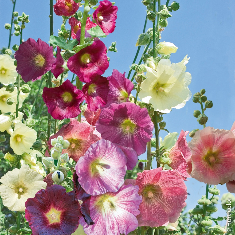 Plante A Planter En Septembre rose trémière : conseils de plantation et entretien