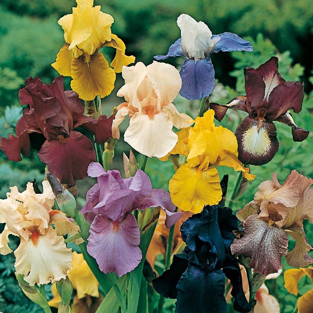 Graines De Fleurs Qui Poussent Très Vite iris : conseils de plantation et entretien