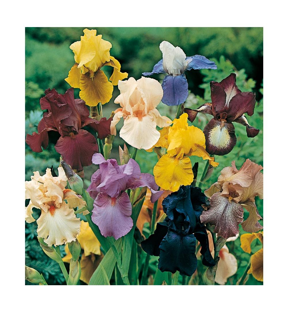 Iris : conseils de plantation et entretien