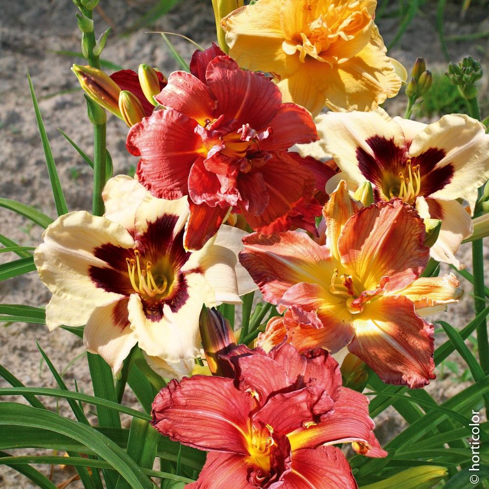 Quelles Fleurs Planter En Septembre hémérocalle : conseils de plantation et entretien