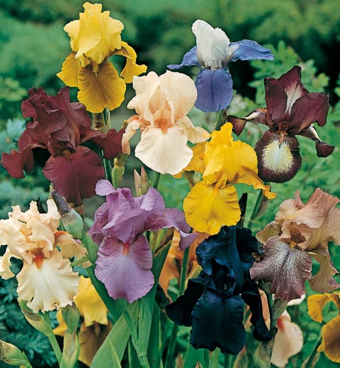 Iris grandes fleurs spartan iris meilland richardier - Langage des fleurs iris ...