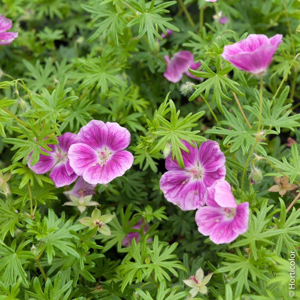 Petites Plantes Fleuries En Pot géranium vivace : conseils de plantation et entretien