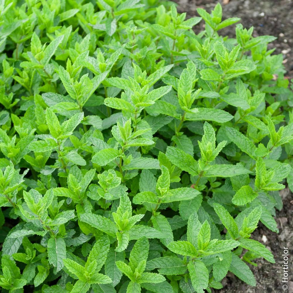 Plantes Aromatiques Sur Terrasse les plantes aromatiques : elles ont tout bon !