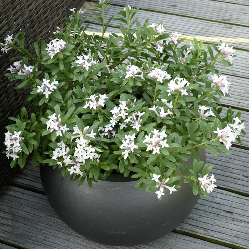 Plantes De Terrasse Arbustes arbuste et grimpante en pots : le fond de toile de la terrasse