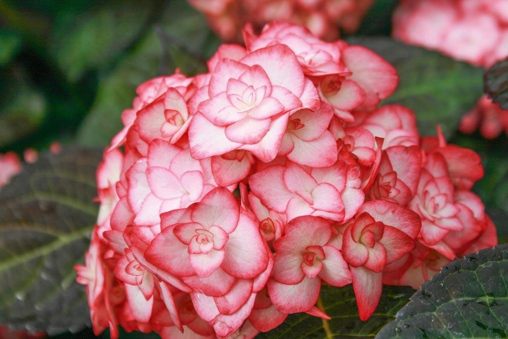 Hortensia conseils de plantation - Quand tailler un hortensia ...