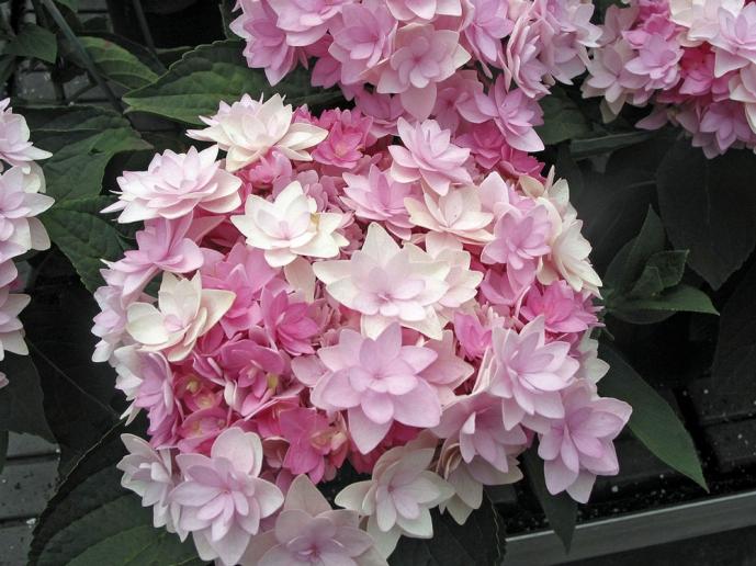 Hortensia grimpant plantes grimpantes meilland richardier - Quand tailler un hortensia ...