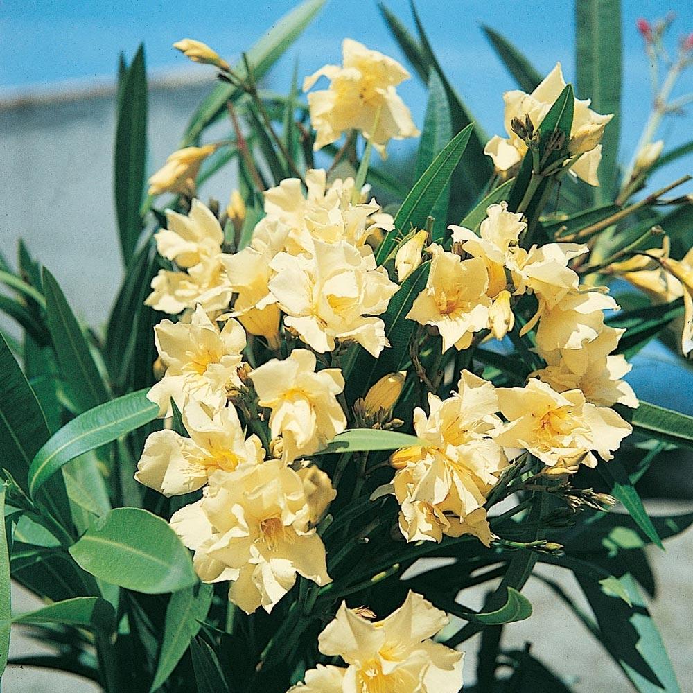 Plantes De Terrasse Arbustes laurier rose : conseils de plantation, taille et entretien