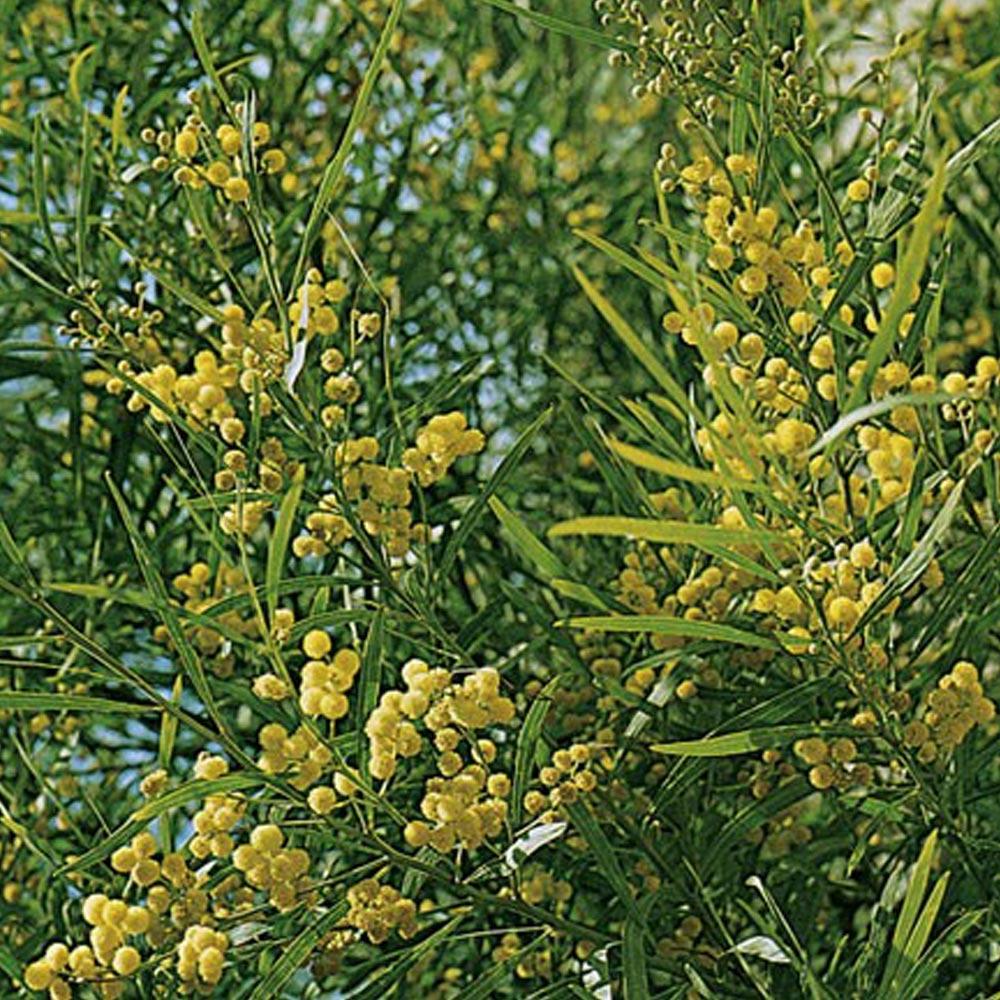 Arbre Fruitier En Pot Interieur mimosas : conseils de plantation, taille et entretien