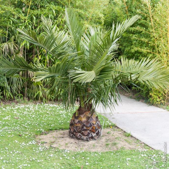 palmier trachycarpus fortunei ou t excelsa ou palmier de. Black Bedroom Furniture Sets. Home Design Ideas