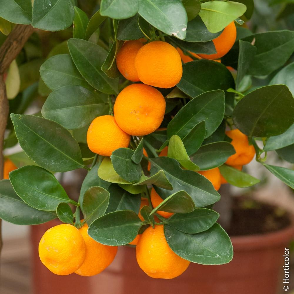Arbre Fruitier En Pot Interieur conseils de plantation et d'entretien des agrumes meilland