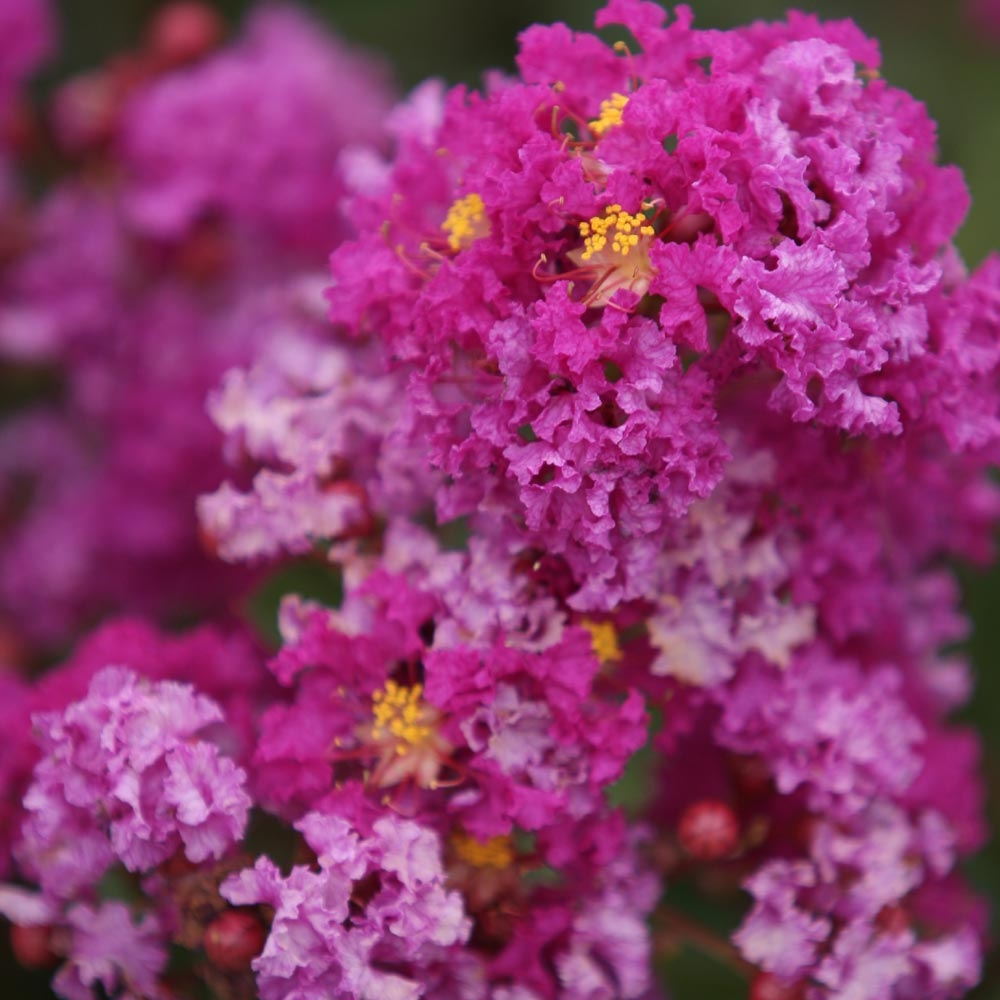 Arbuste Terrain Sec Ombre lagerstroemia (lilas des indes) : conseils de plantation
