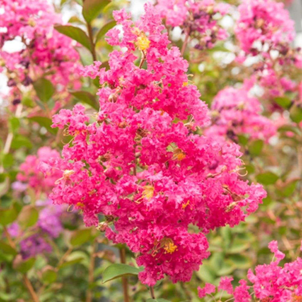 lagerstroemia (lilas des indes) : conseils de plantation, taille et