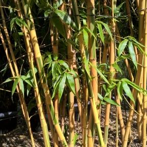Mimosas conseils de plantation taille et entretien - Entretien des bambous ...