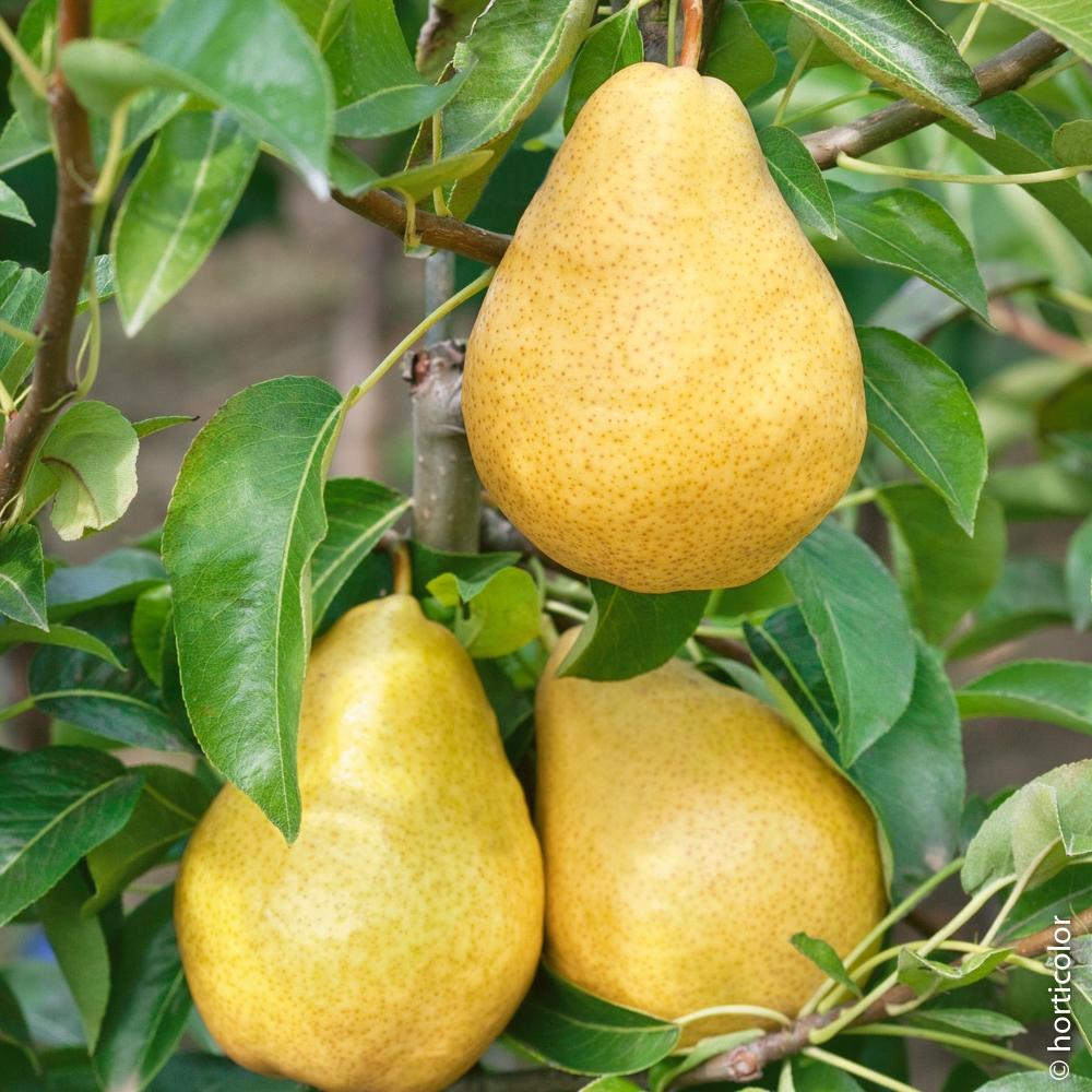 Arbre Fruitier En Pot Interieur arbre fruitier : conseils d'entretien