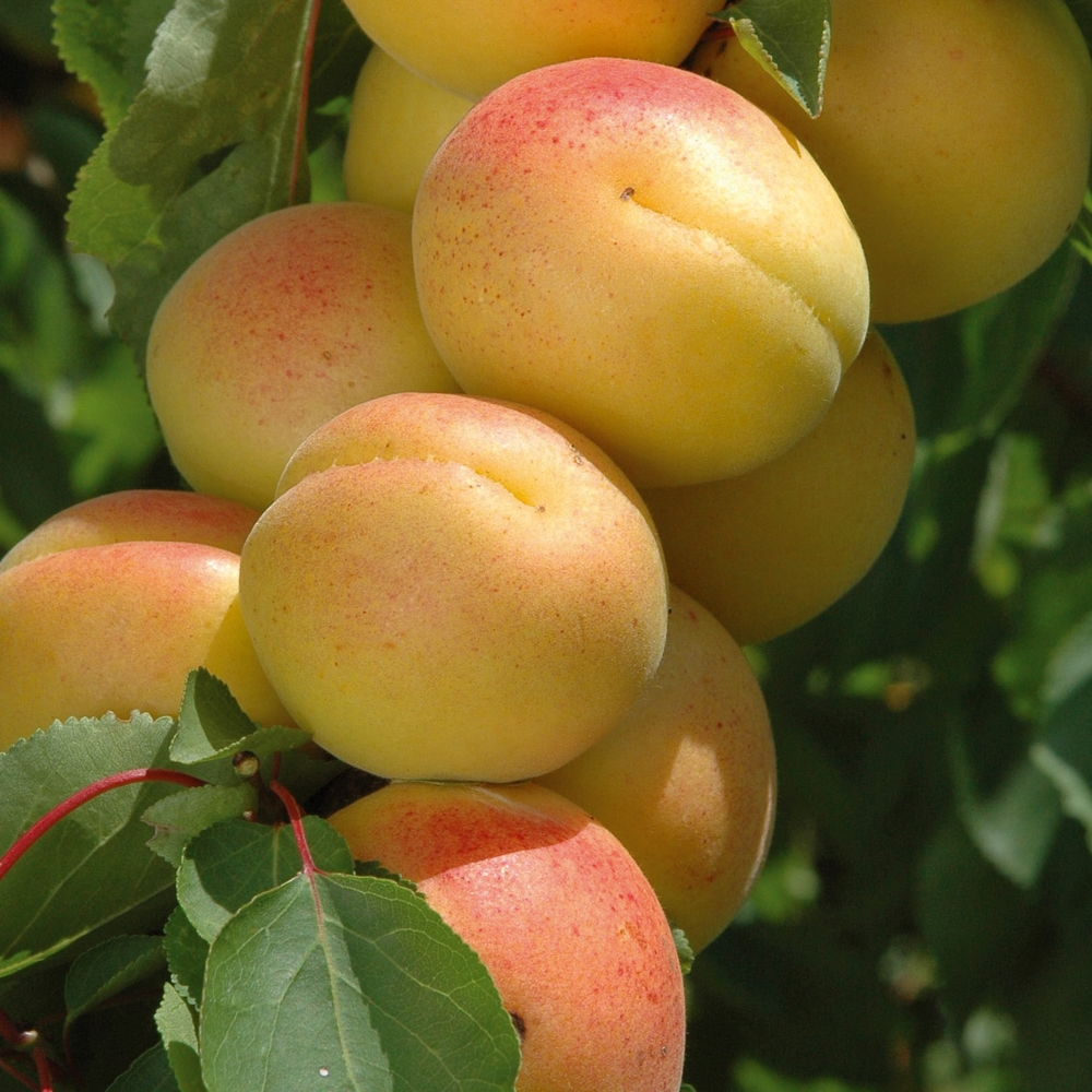 Quel Fruit Planter Au Printemps abricotier : conseils de plantation, taille et entretien