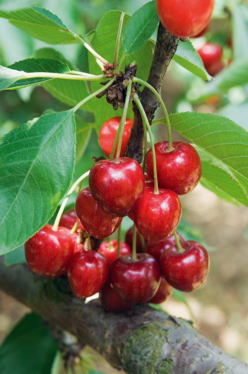 Arbre fruitier quelle forme choisir for Elenco alberi da frutto