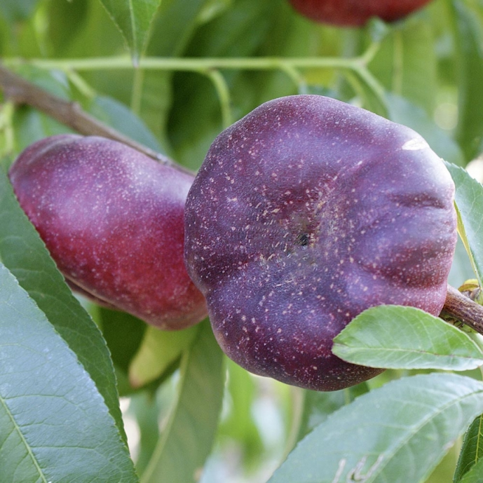 Vente Pluot Purple Candy Arbres Fruitiers Meilland Richardier