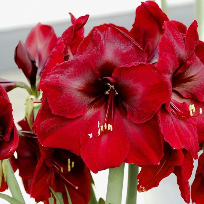 Amaryllis benfica achat de bulbes d 39 int rieur meilland for Arrosage amaryllis