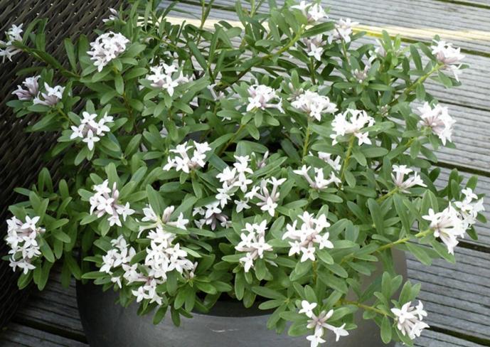 choisya ternata arbustes floraison printani re meilland richardier. Black Bedroom Furniture Sets. Home Design Ideas