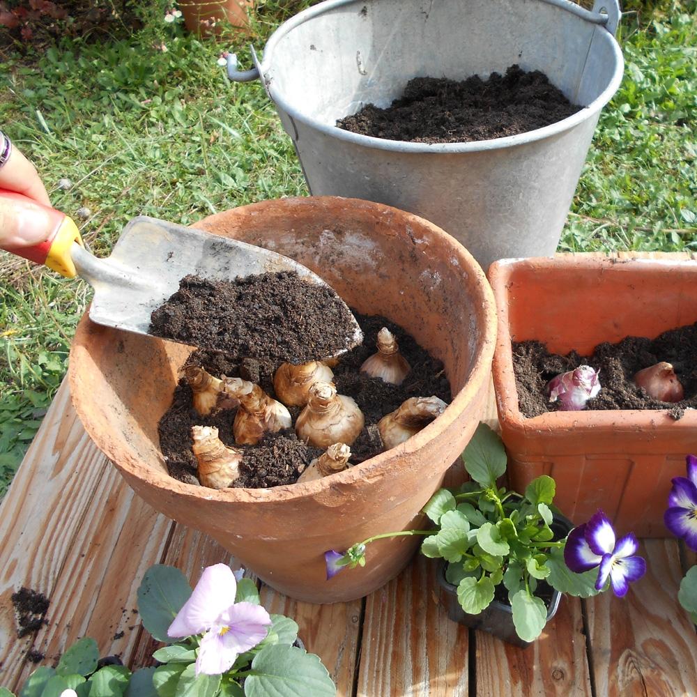 Comment Planter De L Échalote vidéo conseil : planter des bulbes