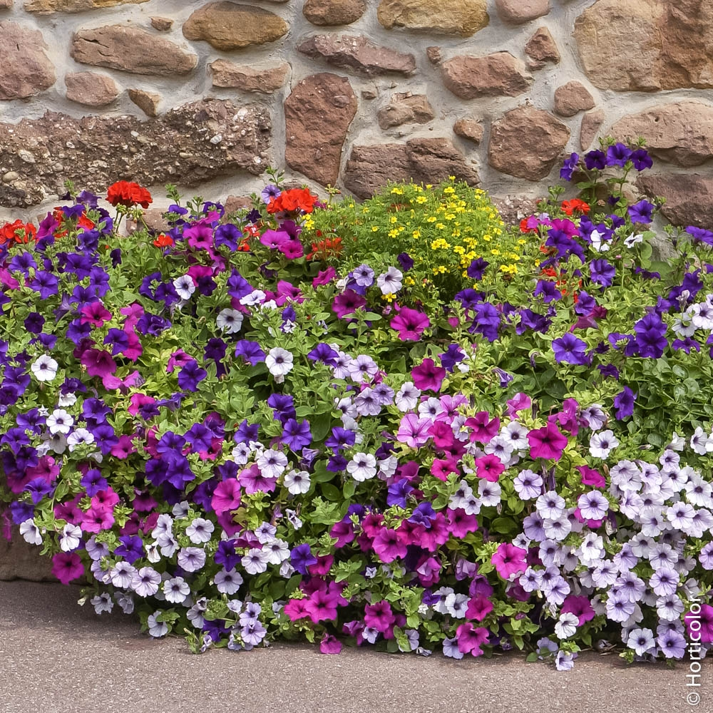 Fleurs Pour Mi Ombre pétunia et surfinia ® : conseils de plantation et entretien