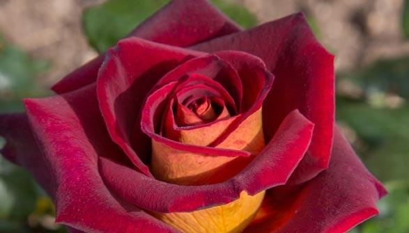 Rosier quels conseils de plantation - Quand planter un rosier ...