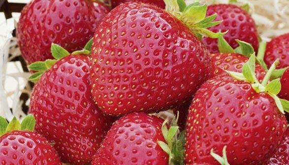 entretien fraisier en pot fraisier mariguette remontant le pot de cm fraisier mount everest c. Black Bedroom Furniture Sets. Home Design Ideas