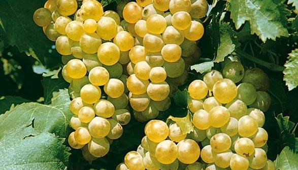 Vigne de table conseils de plantation taille et entretien - Tailler la vigne raisin de table ...