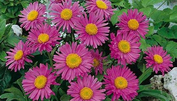 Vivace pour bordures et rocailles lesquelles choisir - Fleurs vivaces longue floraison ...