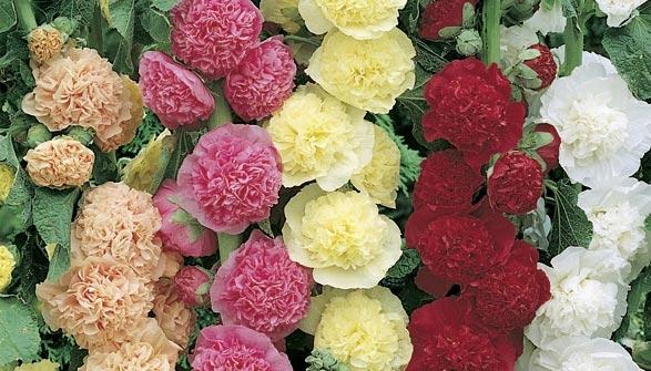 Rose tr mi re conseils de plantation et entretien - Planter des roses tremieres ...