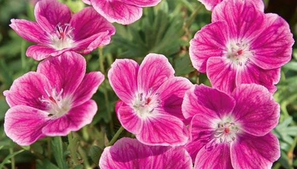 Fleurs Vivaces Tous Nos Conseils Pour Bien Les Cultiver