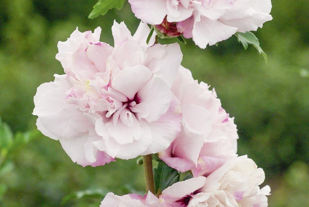 foto de Althéa ou Hibiscus syriacus : conseils de plantation, taille et ...