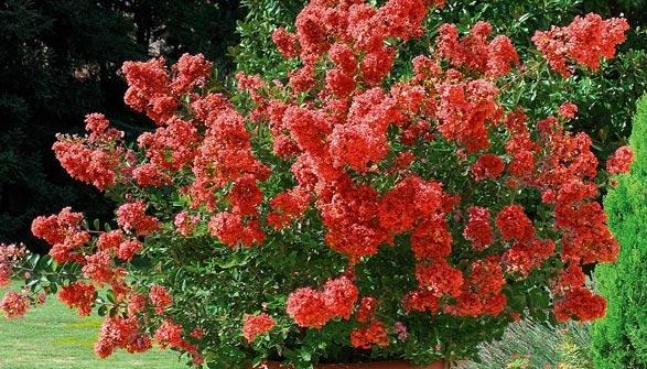 Lagerstroemia lilas des indes conseils de plantation - Le lilas des indes ...