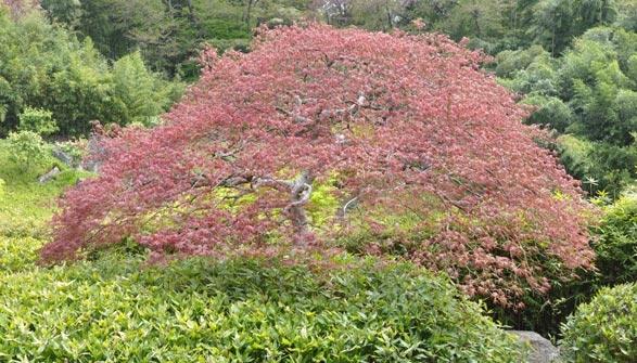 érable Du Japon Conseils De Plantation Taille Et Entretien