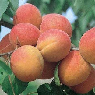 Abricotier conseils de plantation taille et entretien for Taille des abricotiers bergeron